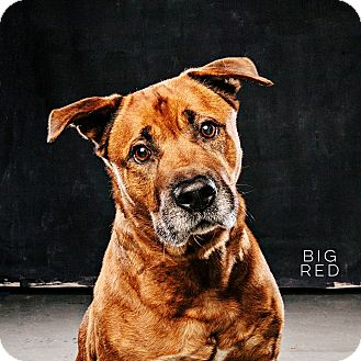 Shepherd (Unknown Type)/Pit Bull Terrier Mix Dog for adoption in Houston, Texas - Big Red