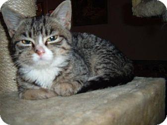 Domestic Mediumhair Cat for adoption in Walnutport, Pennsylvania - Reba