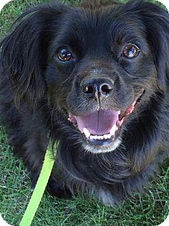 Cavalier King Charles Spaniel Mix Dog for adoption in Meridian, Idaho - Charlie