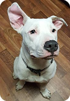 American Bulldog Mix Dog for adoption in Savannah, Georgia - Jack