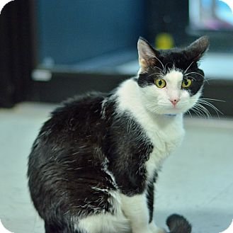 Domestic Shorthair Cat for adoption in Brooksville, Florida - 10311250