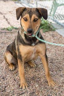 Shepherd (Unknown Type) Mix Dog for adoption in Fort Lupton, Colorado - Goldfish