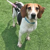 Adopt A Pet :: Cinnamon - Westbrook, ME