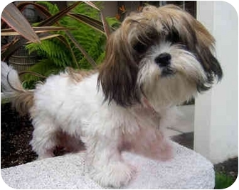 Lhasa Apso Puppy for adoption in Los Angeles, California - FIONNA