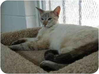 Siamese Cat for adoption in Ozark, Alabama - Shasta