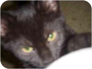 American Shorthair Cat for adoption in Dewey, Illinois - Jenny