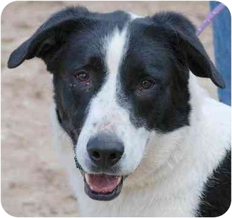 Border Collie/Shepherd (Unknown Type) Mix Dog for adoption in Colorado Springs, Colorado - Tulip