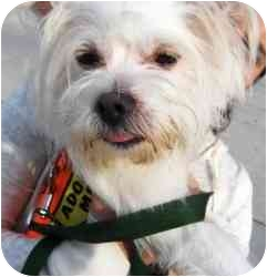 Cairn Terrier/Maltese Mix Dog for adoption in Staten Island, New York - GIOVANNI