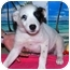 Photo 1 - Australian Cattle Dog/Australian Cattle Dog Mix Puppy for adoption in Broomfield, Colorado - Sweet Pea