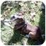 Photo 1 - Boxer/Boston Terrier Mix Puppy for adoption in Cumberland, Indiana - Jasmine
