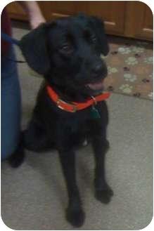 Labrador Retriever/Border Collie Mix Dog for adoption in Mount Gretna, Pennsylvania - Malone