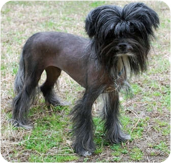Chinese Crested Dog for adoption in Whitewright, Texas - Roxanne