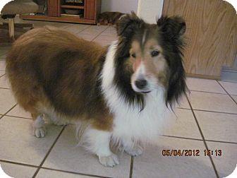 Sheltie, Shetland Sheepdog Dog for adoption in apache junction, Arizona - Lady
