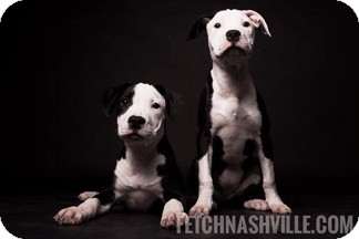 American Staffordshire Terrier Mix Puppy for adoption in Nashville, Tennessee - Cora and Macenzie
