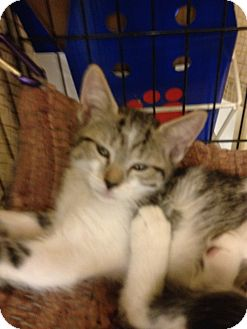 Domestic Shorthair Kitten for adoption in Fort Lauderdale, Florida - Macey