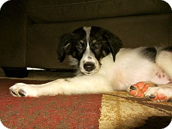 Border Collie Mix Puppy for adoption in Midland Park, New Jersey - Remie