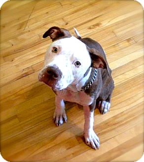 American Pit Bull Terrier Mix Dog for adoption in Montreal, Quebec - Sadie