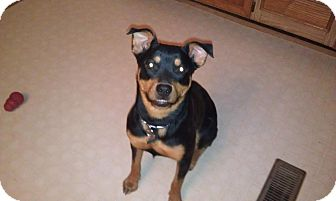 Rottweiler Mix Dog for adoption in El Paso, Texas - Sassy