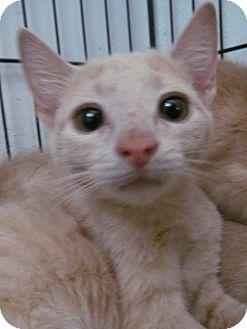 American Shorthair Kitten for adoption in San Diego, California - Sherbert