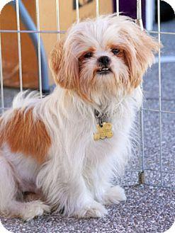 Shih Tzu/Maltese Mix Dog for adoption in Los Angeles, California - FRANCO
