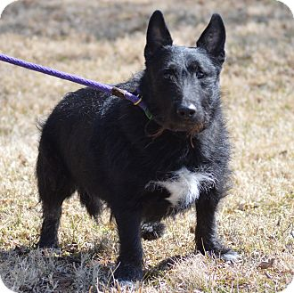 Scottie, Scottish Terrier Mix Dog for adoption in waterbury, Connecticut - Nicky