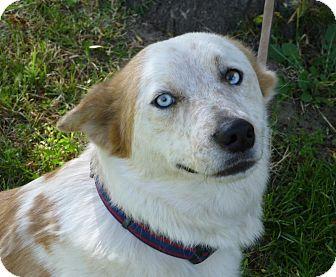 Australian Cattle Dog/Labrador Retriever Mix Dog for adoption in Sacramento, California - Haley