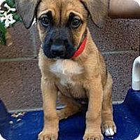 Adopt A Pet :: Juliet - Inglewood, CA