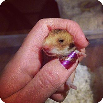 Hamster for adoption in Bensalem, Pennsylvania - Squirt