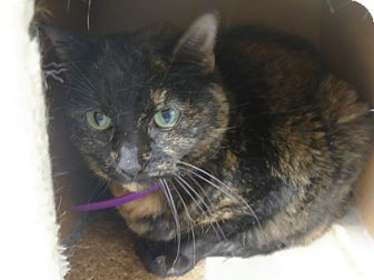 Domestic Shorthair Cat for adoption in Martinsville, Indiana - Julian