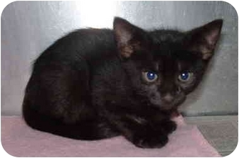 Domestic Shorthair Kitten for adoption in Honesdale, Pennsylvania - Ottis
