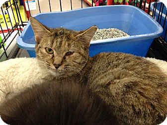Domestic Shorthair Kitten for adoption in Sterling Heights, Michigan - Tinkerbell