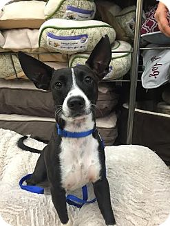 Chihuahua/Italian Greyhound Mix Dog for adoption in Homestead, Florida - Obi-Courtesy Listing