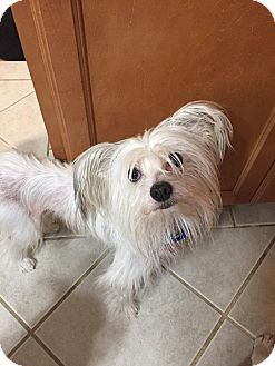 Chinese Crested Dog for adoption in Troy, Michigan - Niko