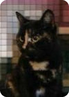 Domestic Shorthair Cat for adoption in Houston, Texas - Xena