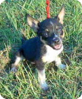 Rat Terrier Puppy for adoption in Allentown, New Jersey - Pez