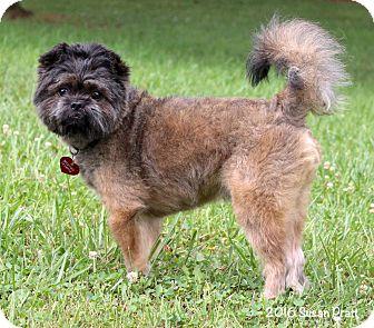Affenpinscher/Brussels Griffon Mix Dog for adoption in Bedford, Virginia - Chico