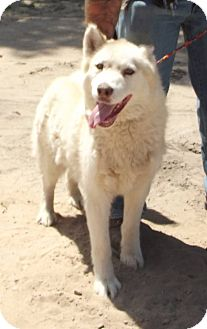 Husky Mix Dog for adoption in Cheboygan, Michigan - Husky