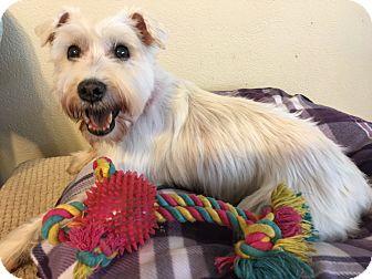 Schnauzer (Miniature) Mix Dog for adoption in Las Vegas, Nevada - Iveta