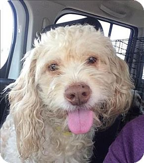 Cocker Spaniel/Poodle (Miniature) Mix Dog for adoption in Encino, California - Archer