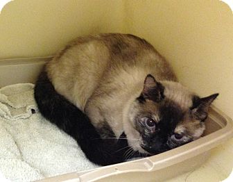 Siamese Cat for adoption in Larned, Kansas - Arowyn