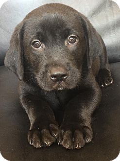 Labrador Retriever Mix Puppy for adoption in CUMMING, Georgia - Prince