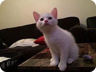 Domestic Shorthair Kitten for adoption in THORNHILL, Ontario - Comet