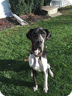 Great Dane Dog for adoption in Oswego, Illinois - Thunder