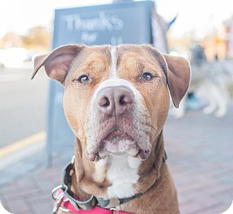 Pit Bull Terrier Mix Dog for adoption in North Haledon, New Jersey - Buster - Fee Sponsored!