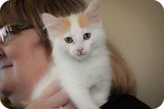 Domestic Longhair Kitten for adoption in Wichita, Kansas - Sugar