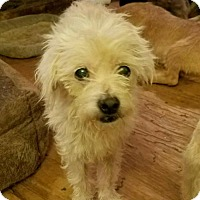 Maltese Mix Dog for adoption in Lithia, Florida - HUNTER -16 Lithia Fl  FOSTER OR ADOPT
