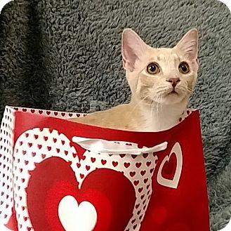 American Shorthair Cat for adoption in Tega Cay, South Carolina - Liam