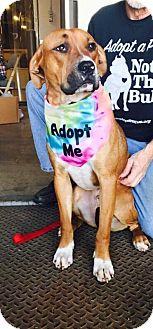 Boxer Mix Dog for adoption in Dayton, Ohio - Samwell