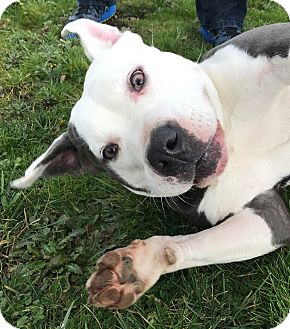 American Staffordshire Terrier Mix Dog for adoption in Salem, Oregon - Princess
