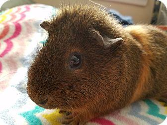 Guinea Pig for adoption in Harleysville, Pennsylvania - Albert